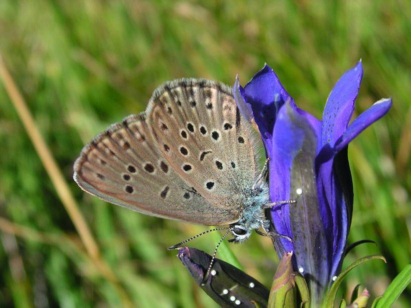 papillon-azuree-mouilleres-tourbiere-rauzes-levezou©l-baliteau