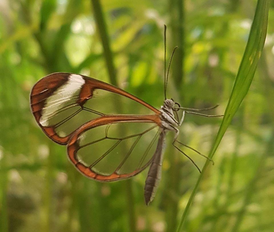 papillon-transparent©micropolis-cite-insectes