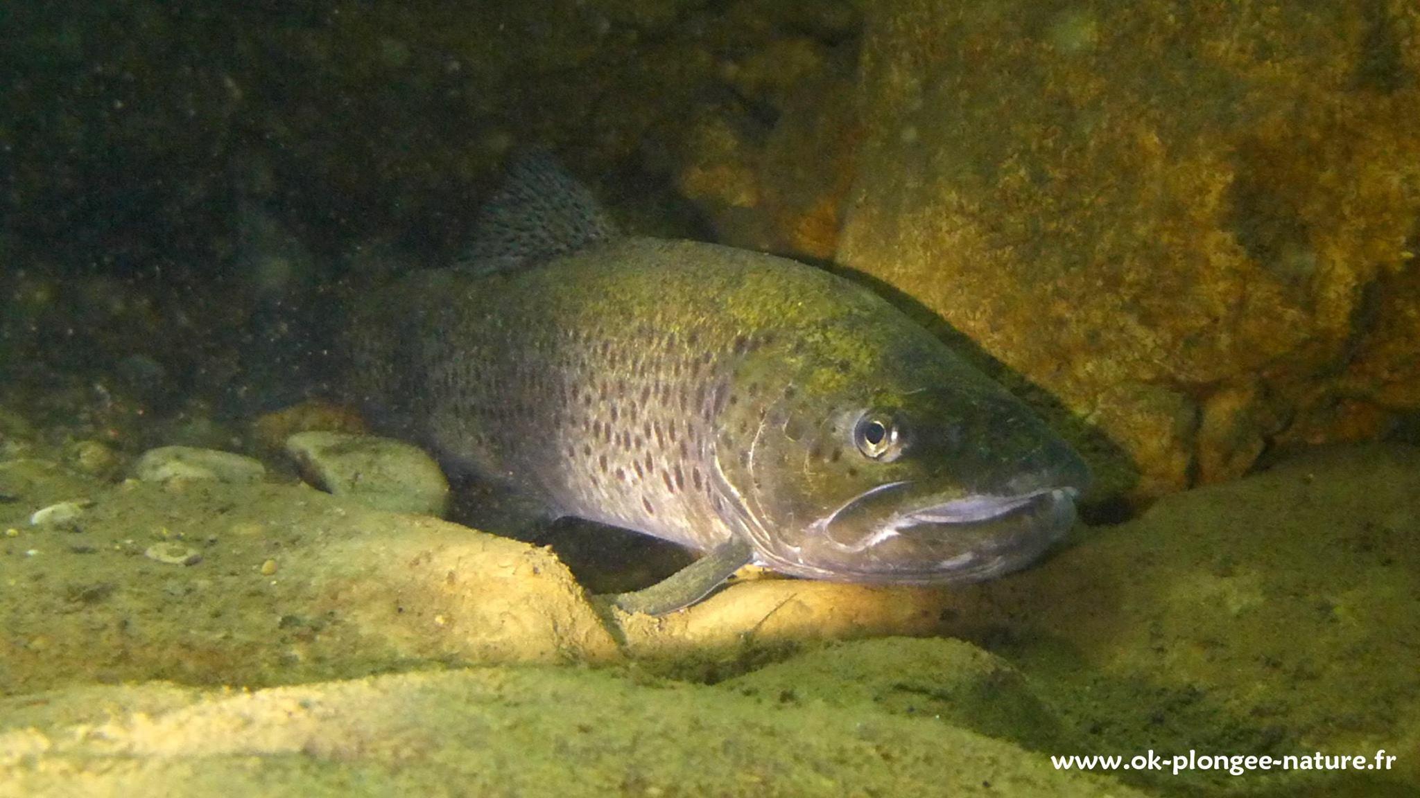 poisson-lac-pareloup-levezou-aveyron©-ok-plongee-nature