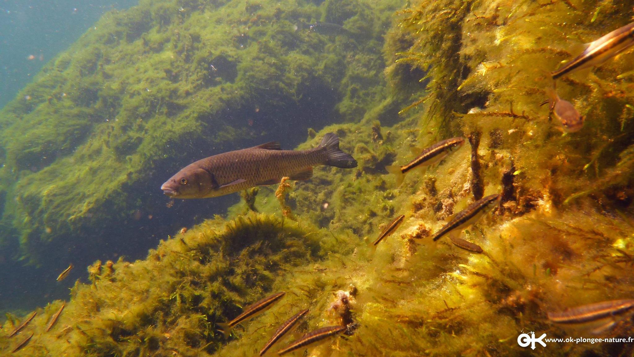 poissons-lac-pareloup-levezou-aveyron©ok-plongee-nature-